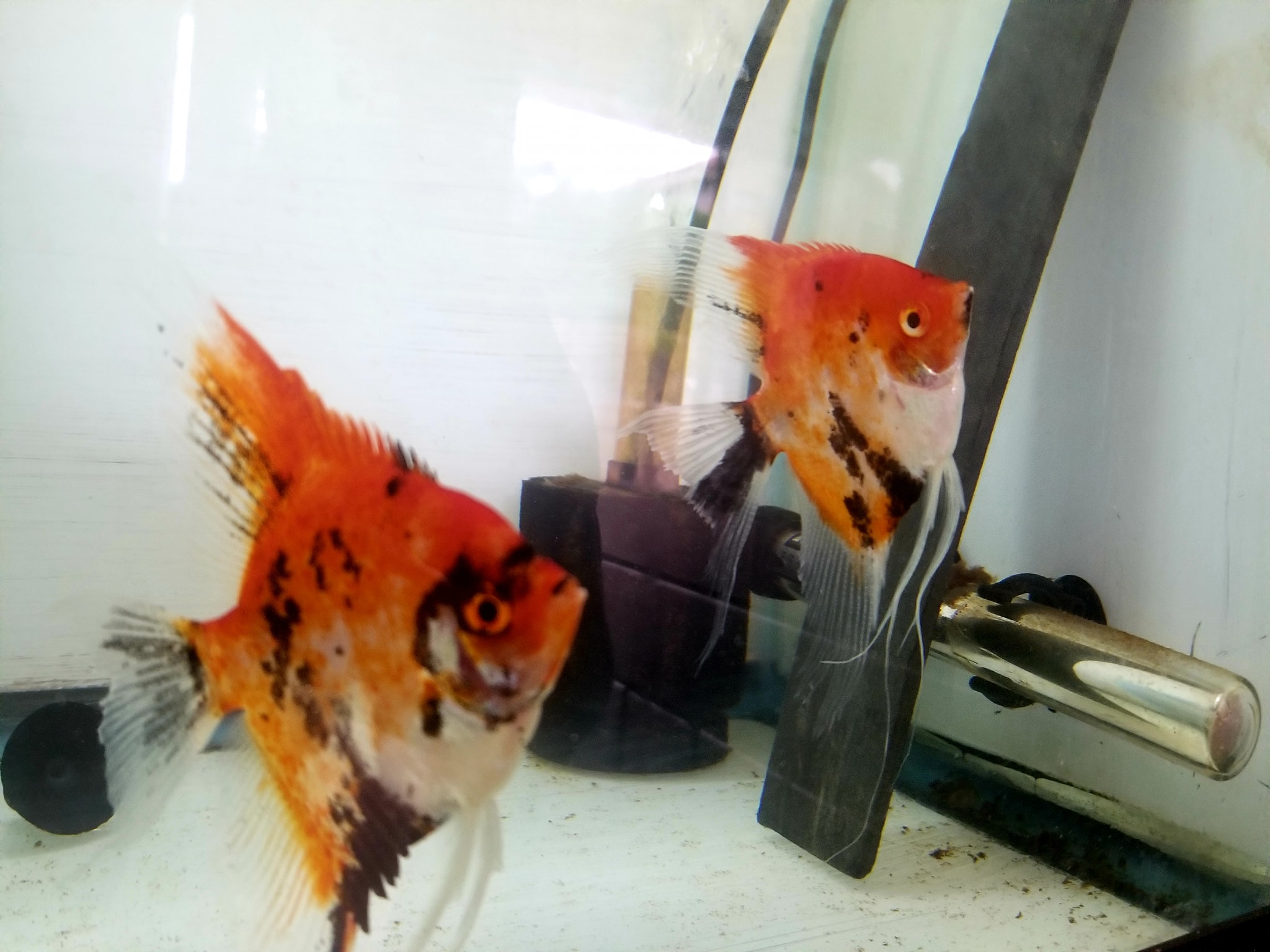 Super Red Koi Pair 11B-1