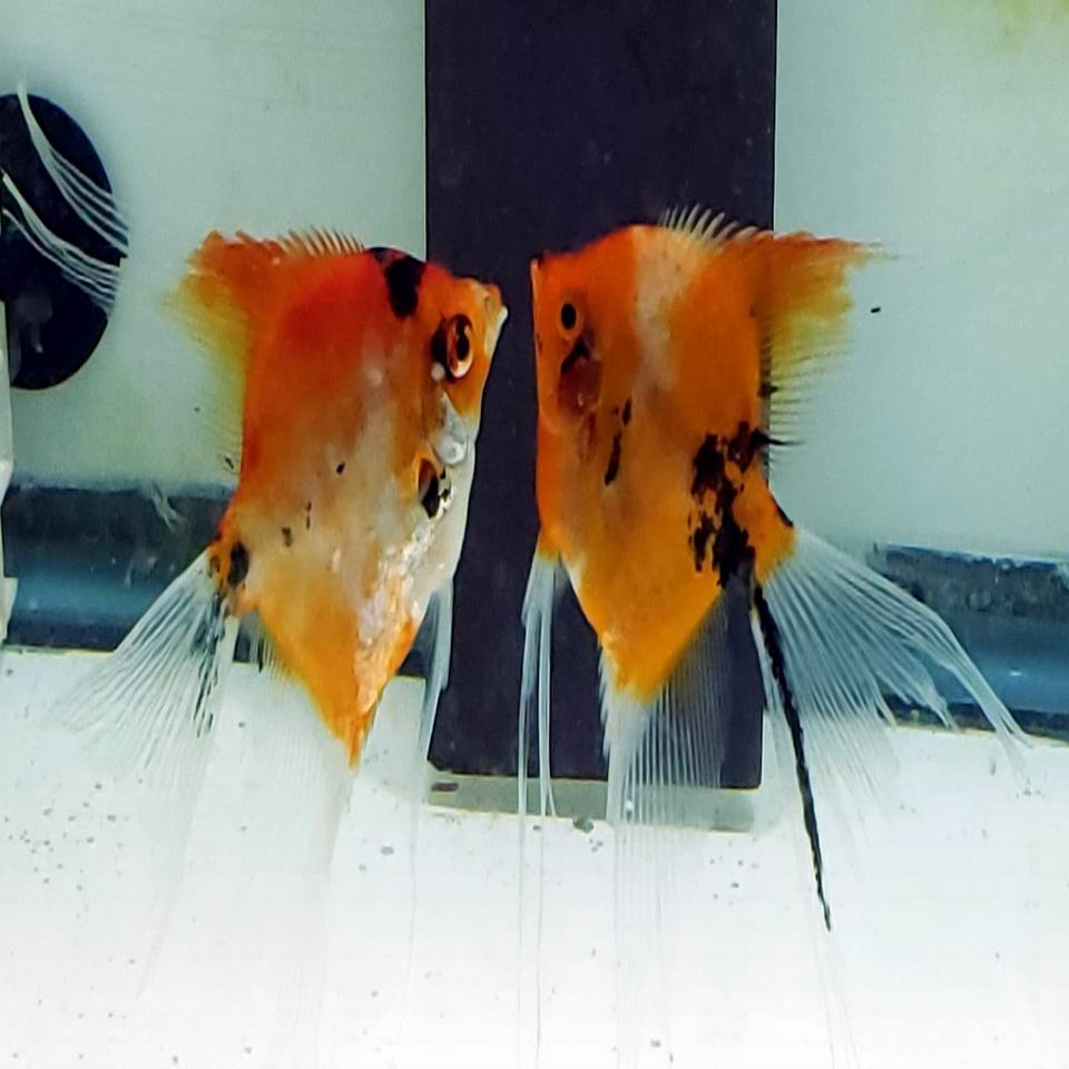 RED KOI PAIR 9A-4