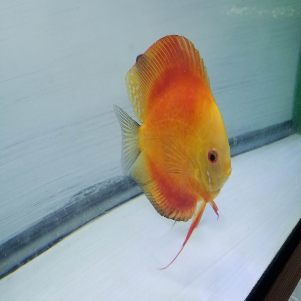Quarter size+ Golden Sunrise Discus
