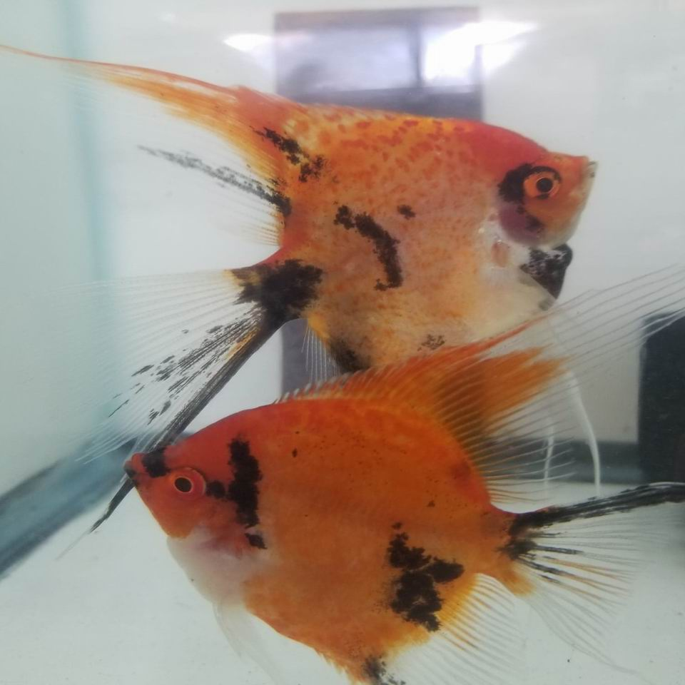 RED SPOTTED KOI VEIL ANGELFISH PAIR #9A