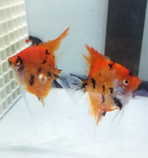 Super Red Koi Pair #8B