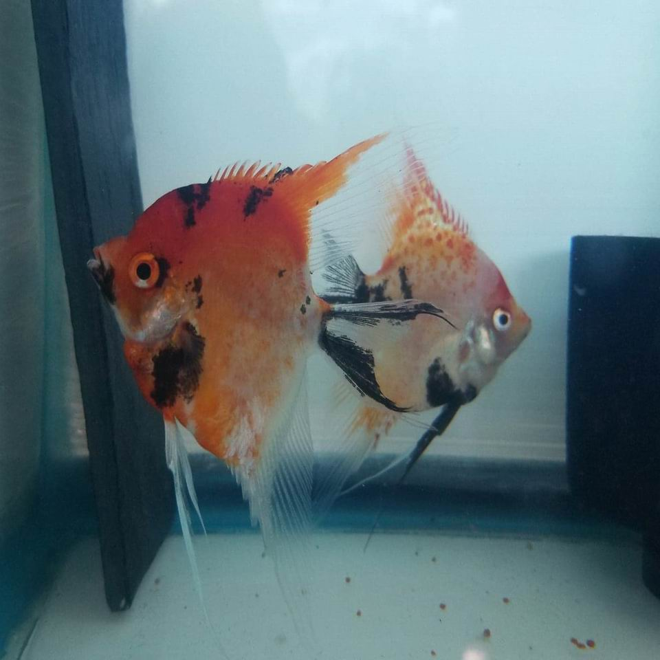 SUPER RED SPOTTED KOI PROVEN PAIR #10A5