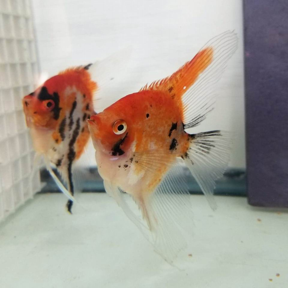 SUPER RED SPOTTED KOI PAIR#9B6