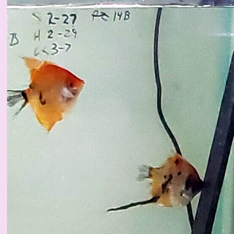 Proven Pair Super Red Koi 9B9