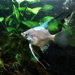 Paraiba Angelfish