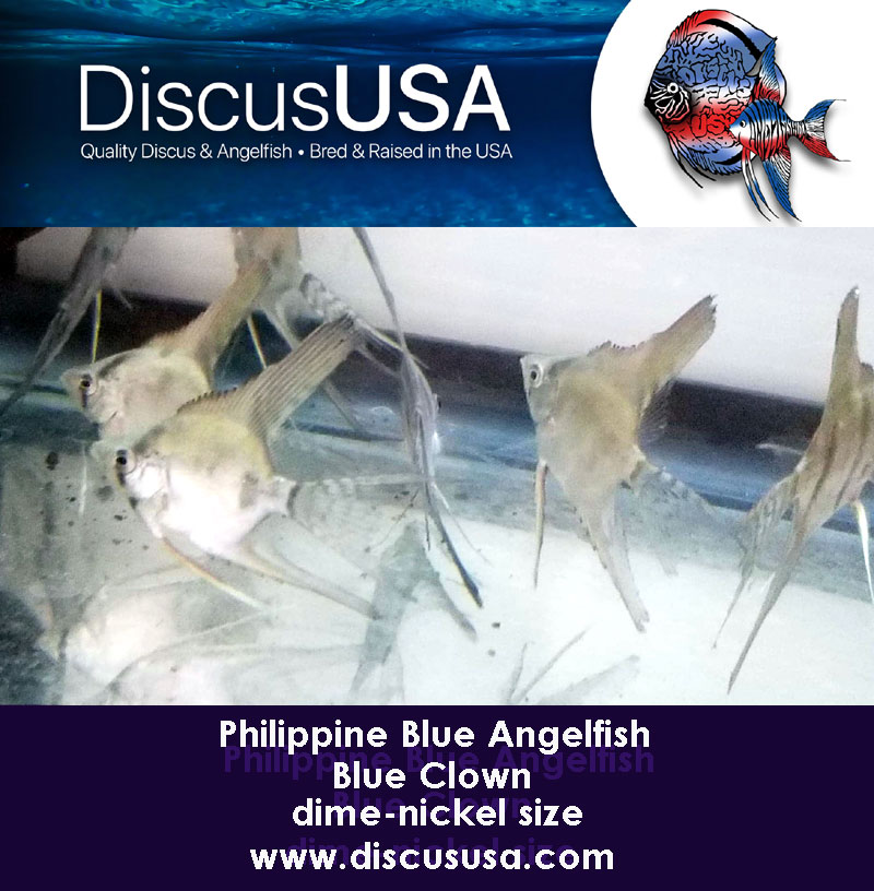 Blue Clown Angelfish small, dime-nickel body (Pack of 5) & FREE SHIPPING