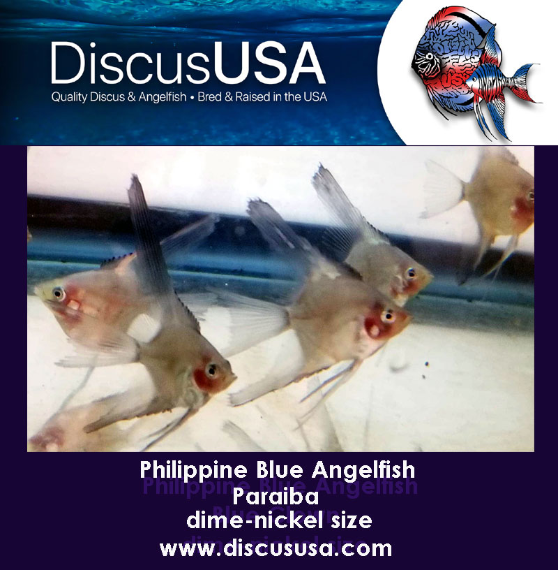 Paraiba Angelfish small dime-nickel body (Pack of 5)