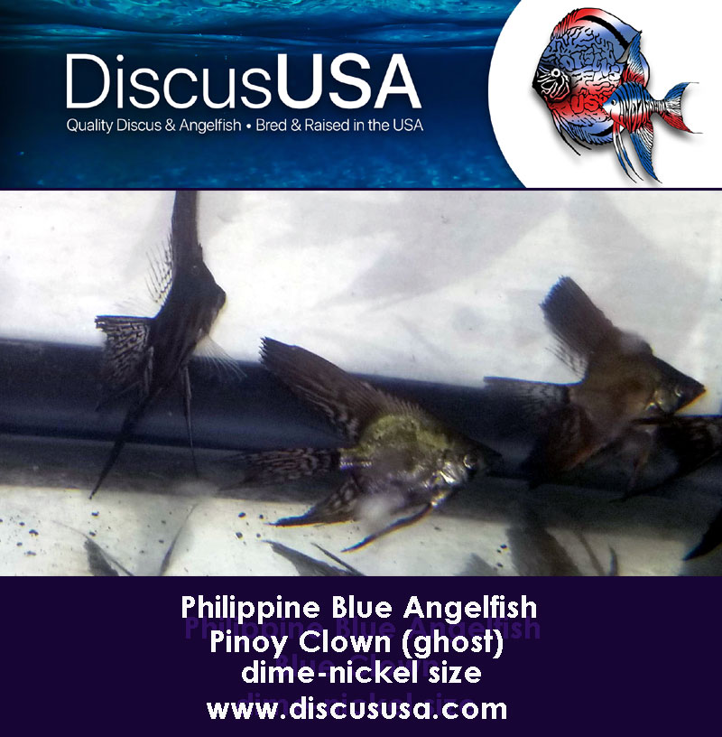 Blue Pinoy Clown Angelfish small, dime-nickel body (Pack of 5)