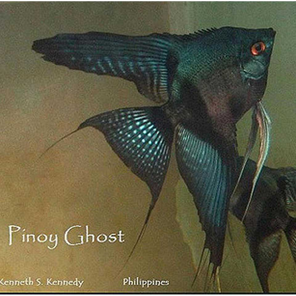 Pinoy Veil Angelfish - small (dime - nickel size)