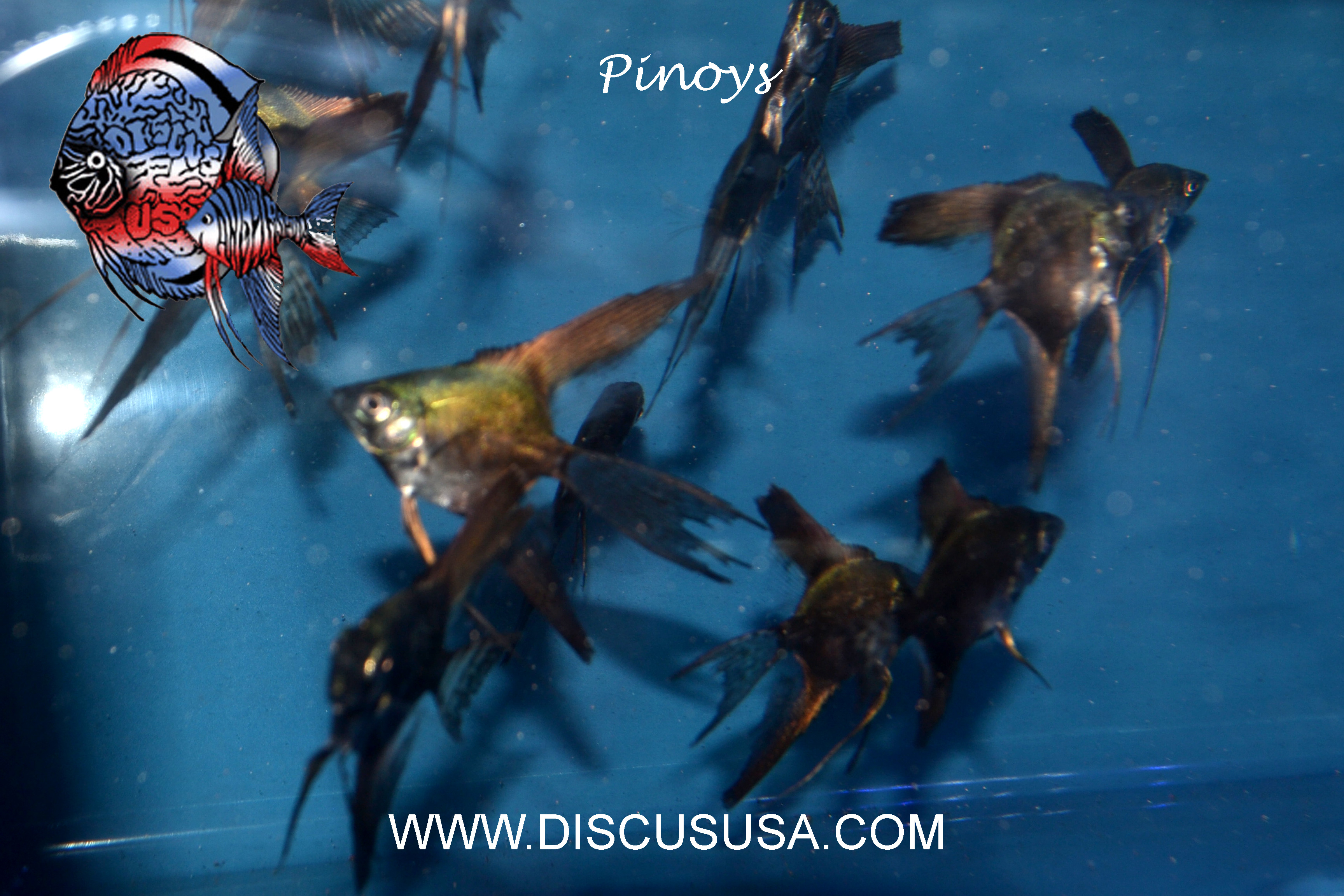 Pinoy Ghost Angelfish - Med.(Quarter size) PACK OF 8