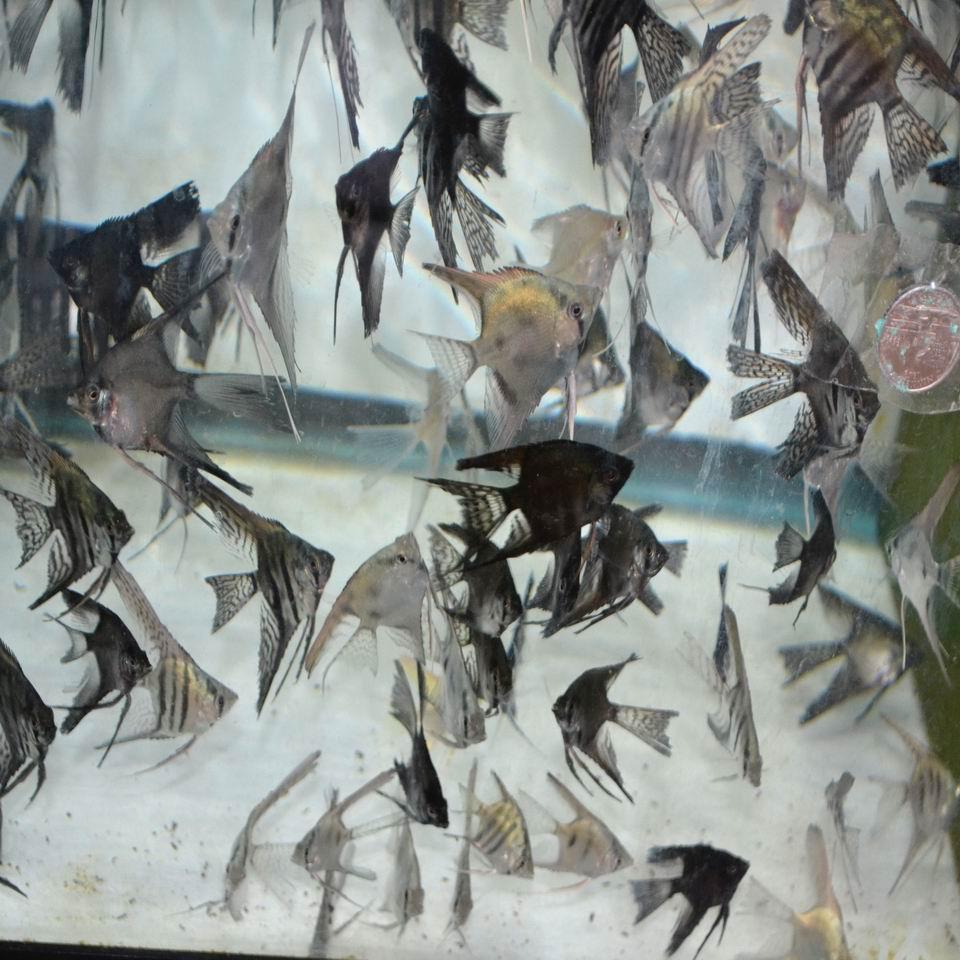 Philippine Blue Angelfish Assortment