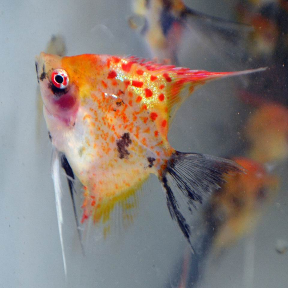RED SPOTTED KOI STD FIN ANGELFISH Med. (quarter size+)