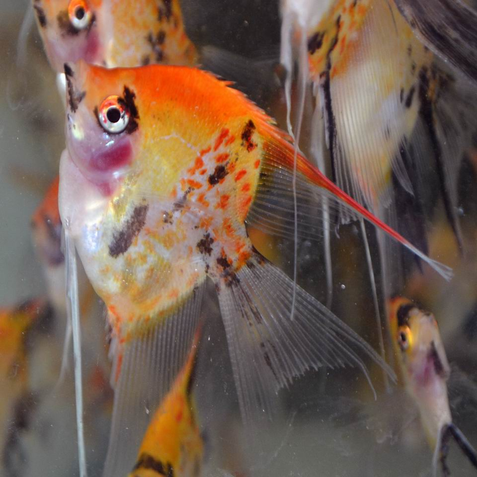 RED SPOTTED KOI STD FIN ANGELFISH Small (dime size)