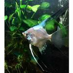 Paraiba Angelfish - small (dime size)