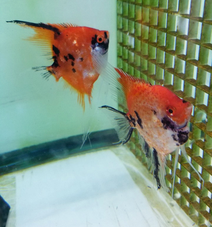 Red Koi Pair 10A High Coverage x Red Spotted