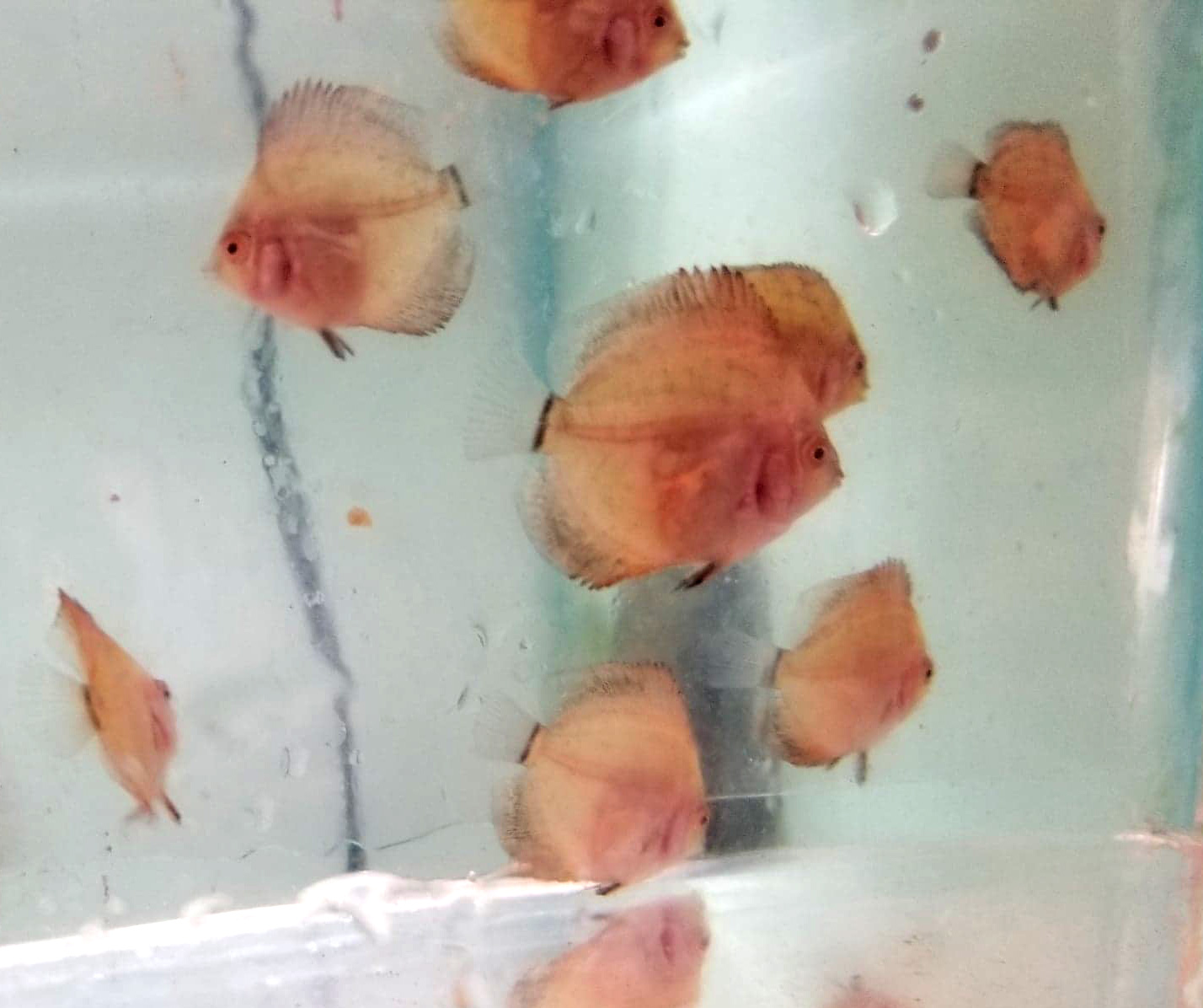 Dime Size assorted Pigeon Discus (Pack of 8)