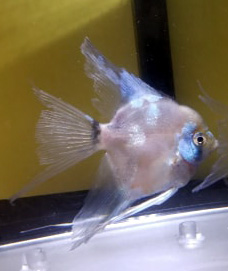 Paraiba Angelfish - Pre-beeder young adult Veils