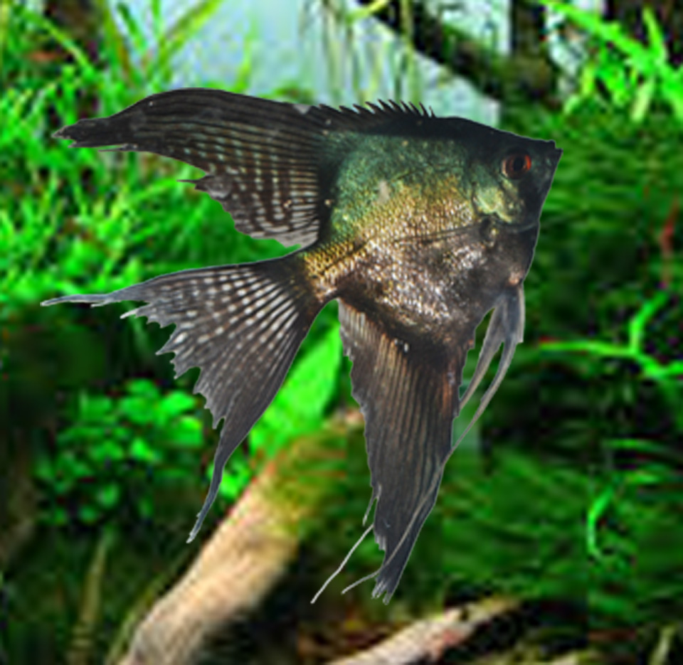 Pinoy Ghost Angelfish - Med.(Quarter size)