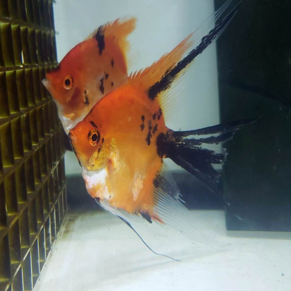 Proven Pair 8B Red Koi Veils (from red spotted koi line)
